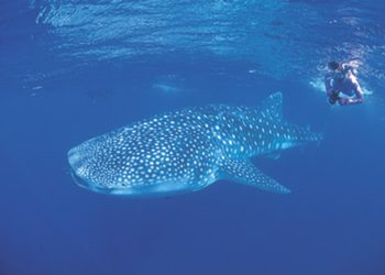 Ningaloo Reef Dive to witness the Whale Sharks