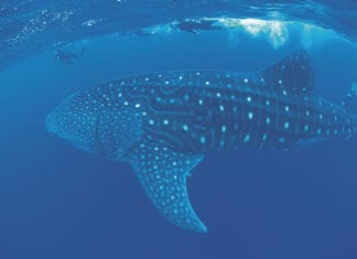 Whale Shark tours from Exmouth