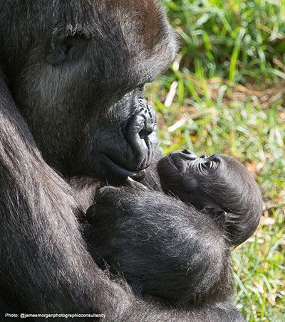 baby and mother gorillas at melbourne zoo