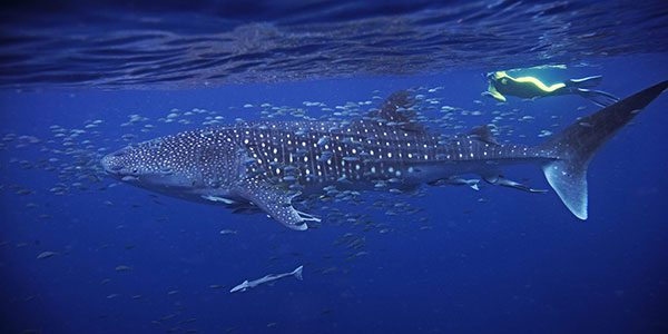 swimming with a whale shark in ningaloo reef