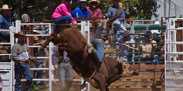 man doing rodeo on a bull in western australia