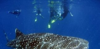 Perth to Exmouth whale shark tour