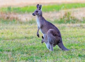 day trips from Perth See Kangaroos