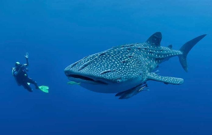Whale Shark Tours April 2019 Exmouth