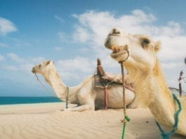 Hitch A Ride And Join The Camel Train Along The Beaches Of Broome