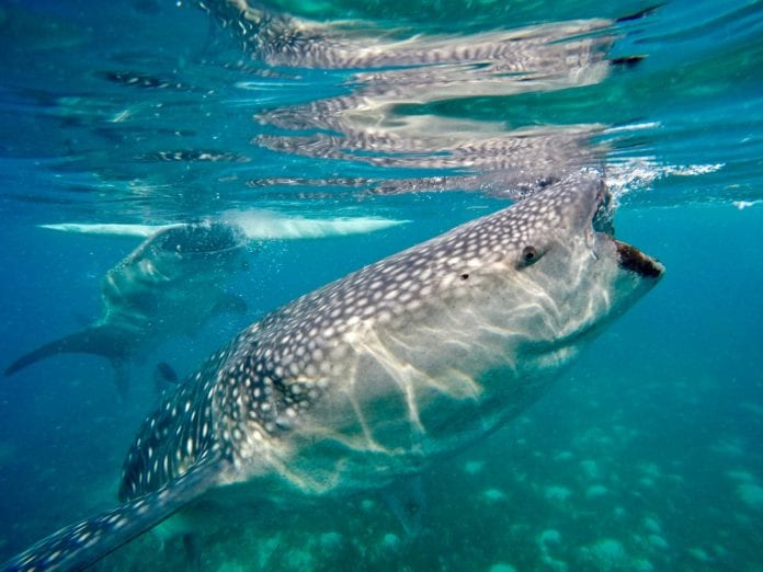 Whale shark tours to Exmouth this winter