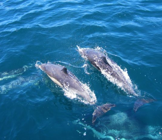 Perth to Exmouth Adventure Tours Whale Sharks