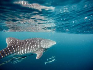 Whale sharks pass Geraldton in Season