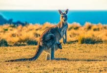 Things to Do in South Australia Things to do in Adelaide Things to do Kangaroo Island