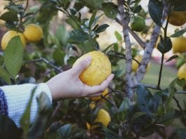 Fruit picking seasons in Western Australia