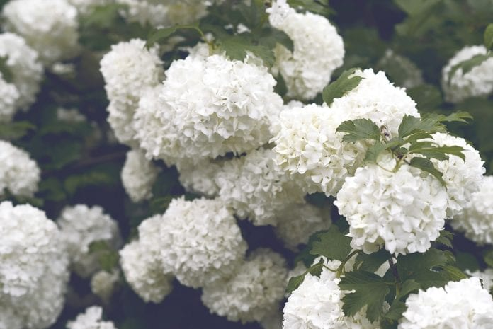 What You Need to Know About Hydrangeas