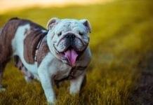 Best Dog Foods For French Bulldog