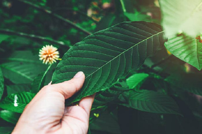 Living in the US and Planning to Buy Bulk Kratom